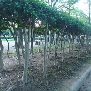 徳島公園のタイサンボク  (20-0722)