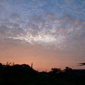 朝焼け カラスウリの花  (20-0809)