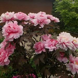 牡丹・シャクヤクとバラ  (21-0523)