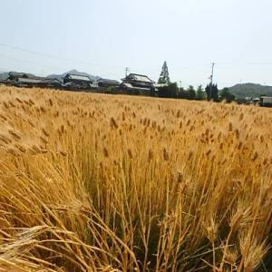 小麦刈り入れの時期&讃岐の和菓子 (21-0524)
