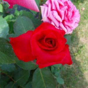 バラ園のバラは・・・ (21-0527)