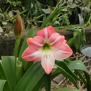 アマリリス・紫陽花・斑入りの雑草。 (21-0603)
