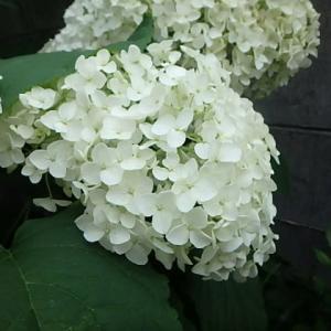 庭のアジサイ。  (21-0621)