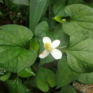 ドクダミの花とお寺。  (21-0724)