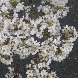 ご近所桜だより・・・・えっ!明日雪?
