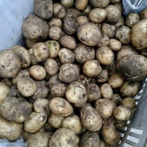 ジャガイモの収穫!
