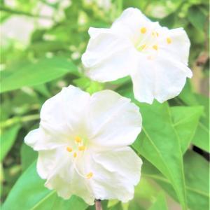 【白粉花 オシロイバナ】✨ 花名の由来は◇ 咲き方の特徴◆