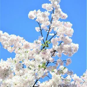 満開の桜✨【国重要文化財酒類総合研究所・赤煉瓦酒造工場】そして、まさかの・・◆