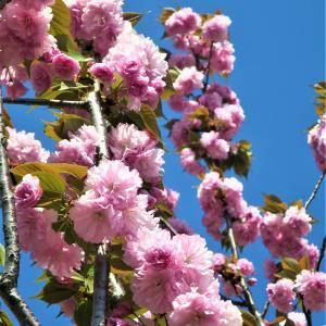 花弁は約25~50枚◇✨里桜の八重桜【関山】かんざん】Vol.2◇最近撮った桜の写真◆