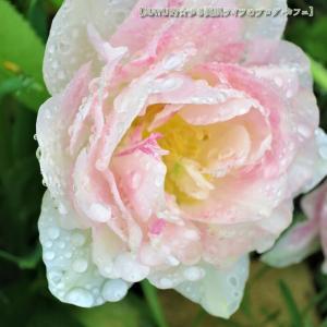昨日朝の雨で【八重咲きチューリップ】は。。✨3月のあなたはシルバーランクでした!◆