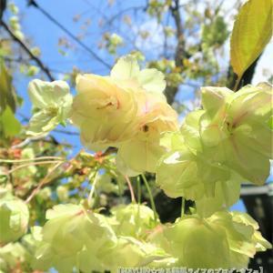 或る偶然から希少品種2つに同日出会う!緑色の桜【御衣黄】【鬱金桜】◆
