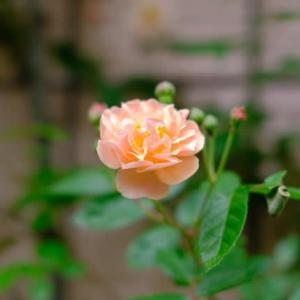 令和の薔薇1