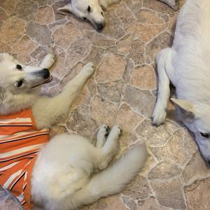 シェパード体型の犬服