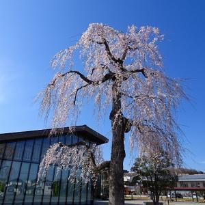 滝桜の孫桜@飯能市立図書館