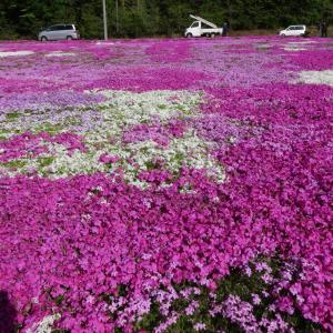 芝桜@ときがわ町