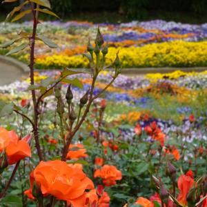 智光山公園(狭山市都市緑化植物園)バラ園