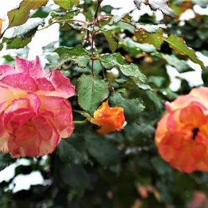 鮎釣りにもコロナウイルスの影響とバラの花が満開に・・・