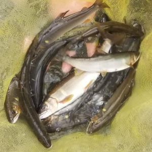 増水で鮎釣りができただけヨシということで・・・
