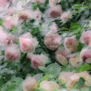 薔薇爛漫 (2021.5)