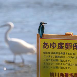 鮎の密漁警戒中w
