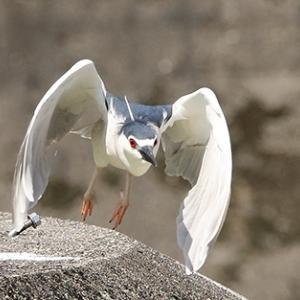 ゴイサギの飛翔