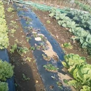 19 12 1 シュンギク・茎ブロッコリー収穫 -農園-