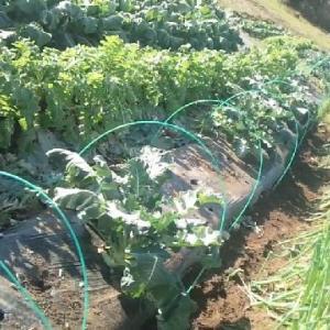19.12.10 菜園の収穫