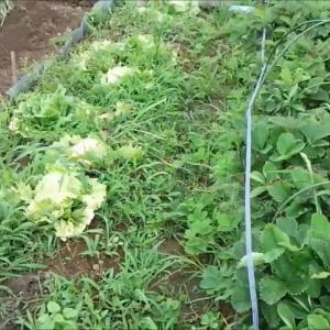 タマネギ収穫 18.5.12 農園