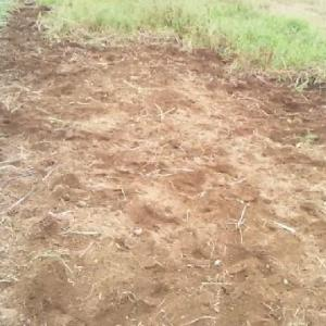 雑草からネギとさつまいも救出