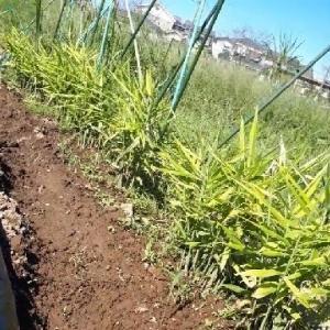 210919 葉ショウガ収穫