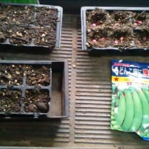 最近の種まきと発芽の様子 18.4.30