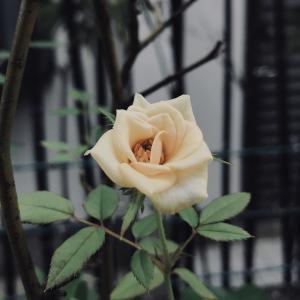 猛暑の中開く花