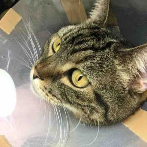 猫の尿路結石(症状・治療法・手術・食事療法)