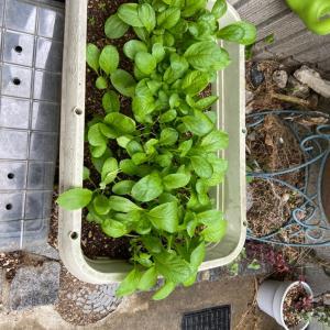 小松菜栽培