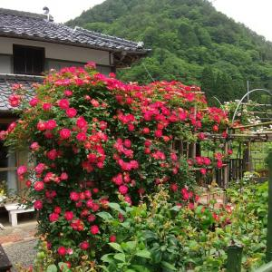 元気になれる薔薇(*^^*)