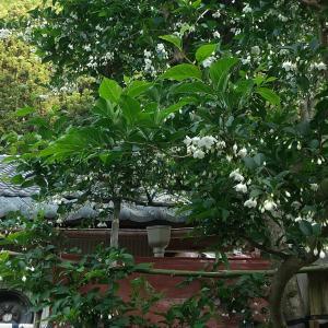 エゴノキの白い花
