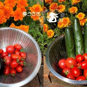 トマト大量収穫!ナスは・・・( ノД`)シクシク…