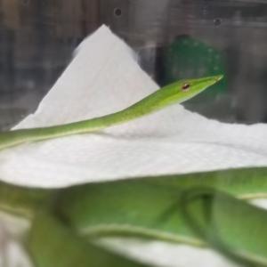 ハナナガムチヘビ