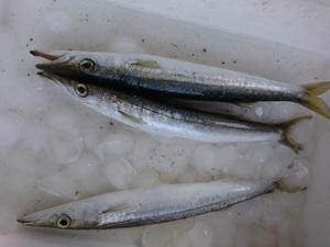 カマス釣り7日目w今日は3匹のみ。