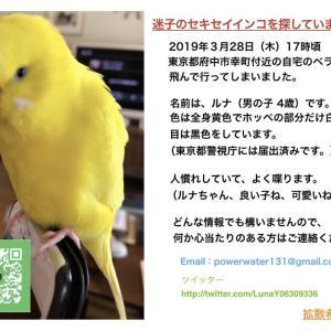 【迷子インコ・東京都府中市幸町付近で探しています】
