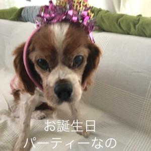 """""""【キャバリアレスキュー隊ケア中ディブ】ディブちゃんハッピーバースデイ!!"""""""