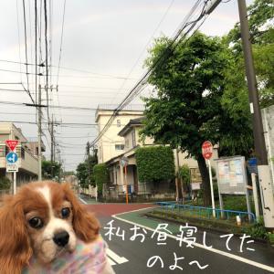"""""""【キャバリアレスキュー隊里親募集中】ディブちゃんと虹が見えたよ"""""""