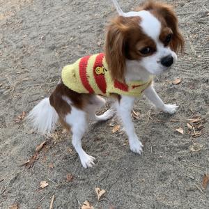 【保護犬情報】仙台市宮城野区 ブレンハイム 男の子 【拡散歓迎】