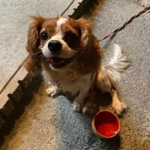 【迷子犬情報】奈良県奈良市 ブレンハイム 【拡散歓迎】