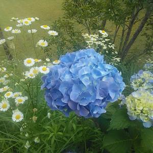 庭の紫陽花が満開なので撮ってみた