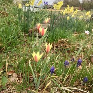 春のサプライズ・・・球根の開花