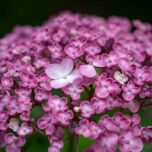 梅雨の晴れ間の散歩・紫陽花