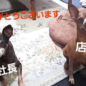 ミニピン★ハウス4周年~パチパチパチ
