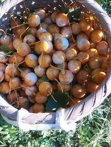 銀杏の収穫