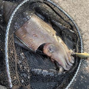 自分が釣ってない巨大モンゴウイカのブログ